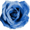 rosebluesmallrandom%