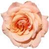 rosepeachsmallrandom%