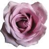 rosepurplesmallrandom%
