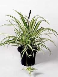 spider-plantrandom%