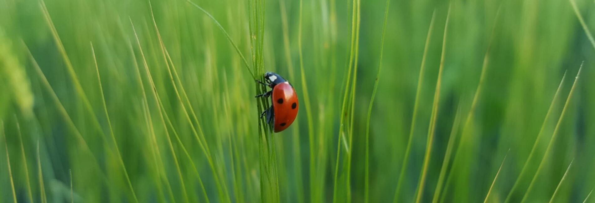 The Ladybug–A Wanted Visitor for Your Garden